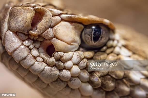 Rattle snake, extreme close up
