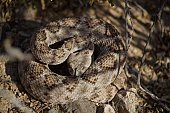 Rattle Snake ready to strike on summer day, forked tongue out, head down