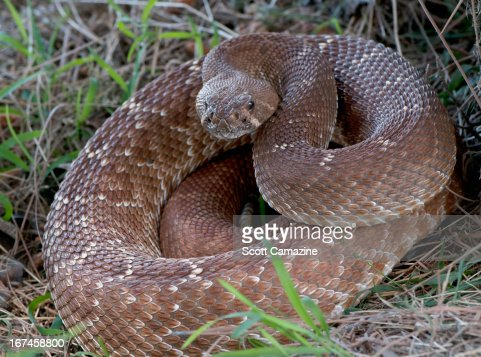 USA, Rattlesnake coiled in grass : Stock Photo