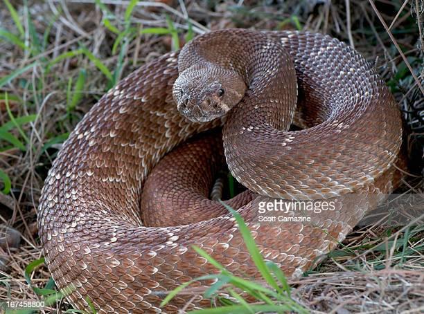 USA, Rattlesnake coiled in grass