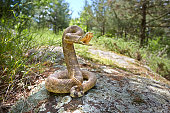 rattlesnake on a rock