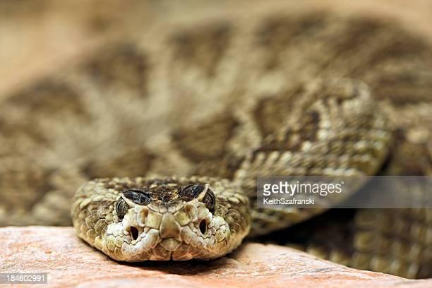 Rattlesnake Stare