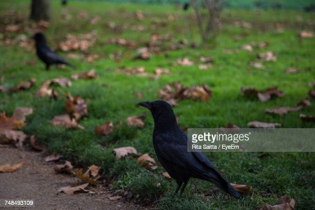 Raven Amidst Fallen Dry Leaves On Grass