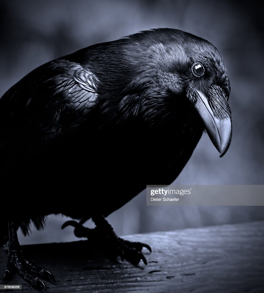 Raven - curious
