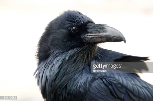 Raven Face- fond blanc