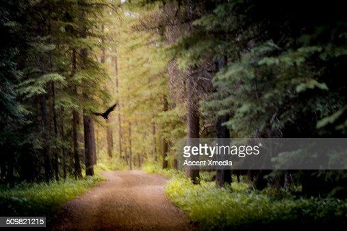 Raven flies along forest track, blurred motion