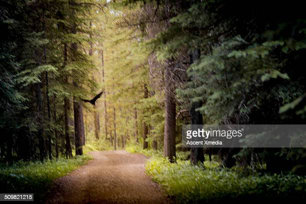 Raven flies along forest track, blurred motion