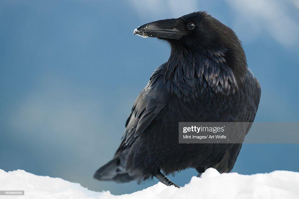 Raven in snow, Corvus corax, Olympic National Park, Washington, USA : Stock Photo
