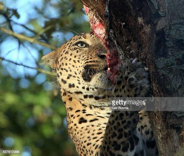 Ravenous Sri Lankan Leopard