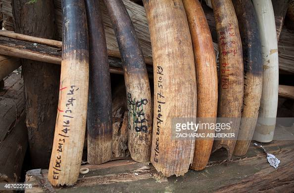 Raw elephant tusks and other items made of ivory totaling more than six tons are stacked to be burnt outside of Addis Ababa on March 20 2015 The...