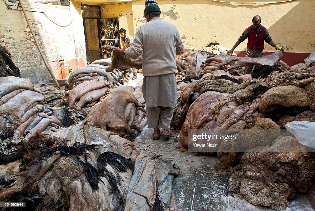 Raw hide and skin dealers count sheep and goat hides on October 30, 2012 in Srinagar, the summer capital of Indian administered Kashmir, India. Muslim countries produce the highest number of raw hides during the Eid ul Adha (Feast of the Sacrifice). With the Sacrificing of animals on the eve of Eid, millions of raw hides, mostly from sheep, goat and other bovine animals are prepared. The trade generates billions of dollars drives the raw material need of the footwear industry, where most of the hides are utilized after tanning. The State of Jammu and Kashmir, a Muslim majority state, also produces three million hides from different animals annually, with some two hundred thousand hides made ready on Eid. The hides are mostly exported in raw form to India based tanneries which process it to leather that is mostly exported to Europe. .