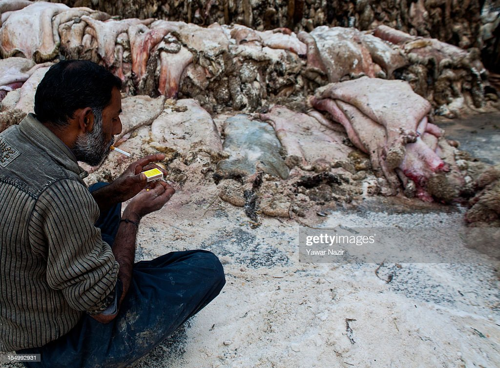 Raw hide and skin worker takes a break as he applies salt to sheep and goat hide on October 30, 2012 in Srinagar, the summer capital of Indian administered Kashmir, India. Muslim countries produce the highest number of raw hides during the Eid ul Adha (Feast of the Sacrifice). With the Sacrificing of animals on the eve of Eid, millions of raw hides, mostly from sheep, goat and other bovine animals are prepared. The trade generates billions of dollars drives the raw material need of the footwear industry, where most of the hides are utilized after tanning. The State of Jammu and Kashmir, a Muslim majority state, also produces three million hides from different animals annually, with some two hundred thousand hides made ready on Eid. The hides are mostly exported in raw form to India based tanneries which process it to leather that is mostly exported to Europe.
