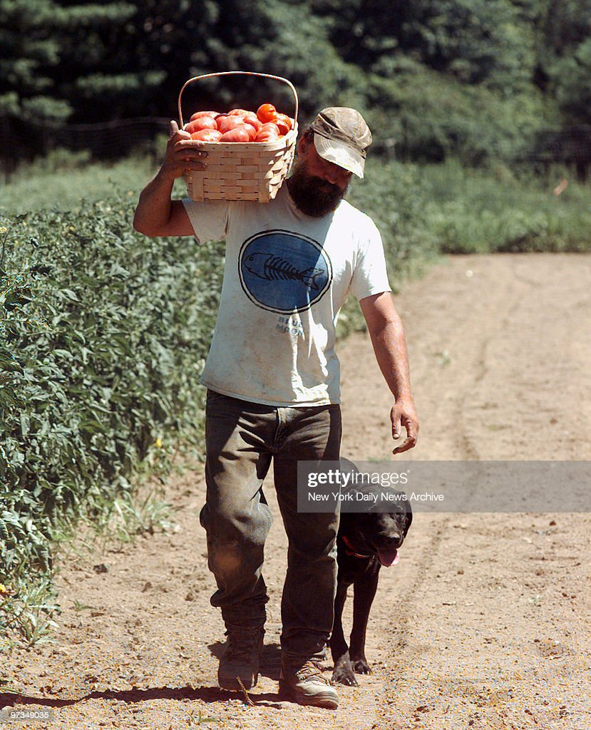 Ray Bradley carries bushel of freshpicked tomatoes through field in New Paltz NY