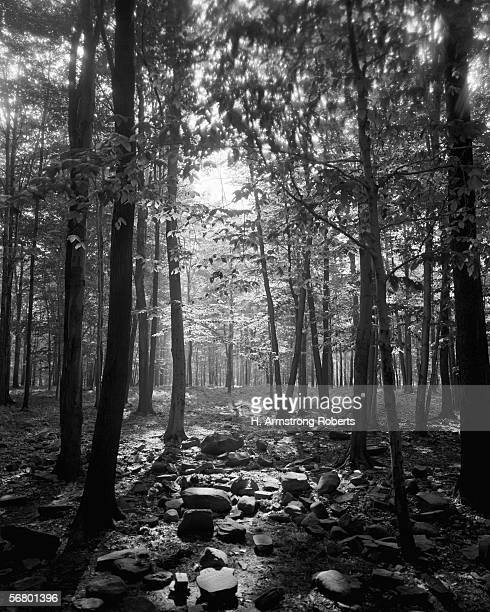 Ray of sunlight shining through trees in wooded area