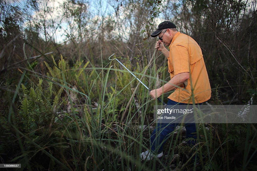 Ray Slocum hunts for python's in the Florida Everglades on the first day of the 2013 Python Challenge on January 12, 2013 in Miami, Florida.The Florida Fish and Wildlife Conservation Commission and its partners launched the month long 2013 Python Challenge to harvest Burmese pythons in the Florida Everglades, a species that is not native to Florida.The contest features prizes of $1,000 for catching the longest snake and $1,500 for catching the most.