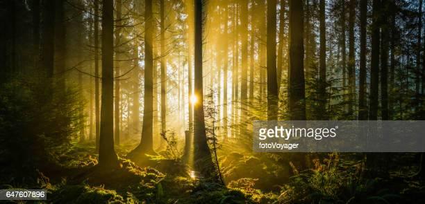 牧歌的な森林の空き地パノラマを介してストリーミング黄金の太陽の光線