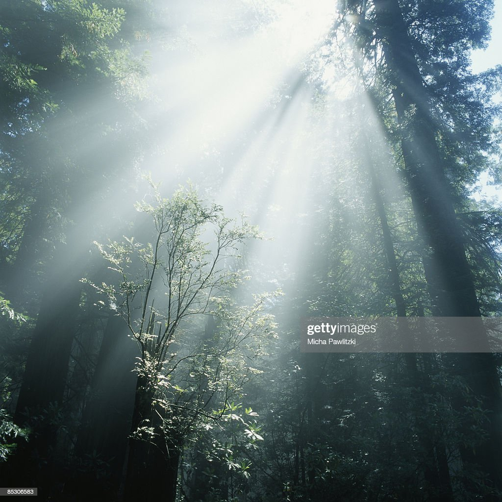 Rays of Sunlight Breaking Through Forest Canopy : Stock Photo
