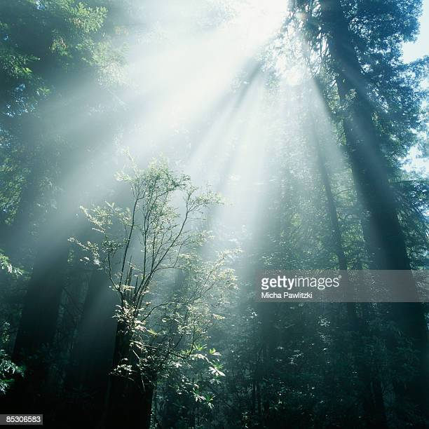 Rays of Sunlight Breaking Through Forest Canopy