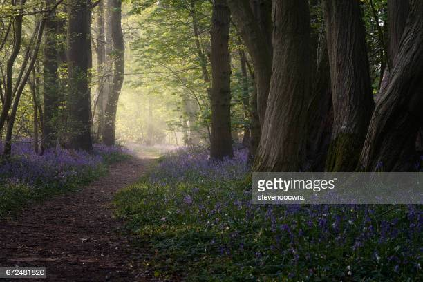 Rays of sunlight shine into the bluebell woodland