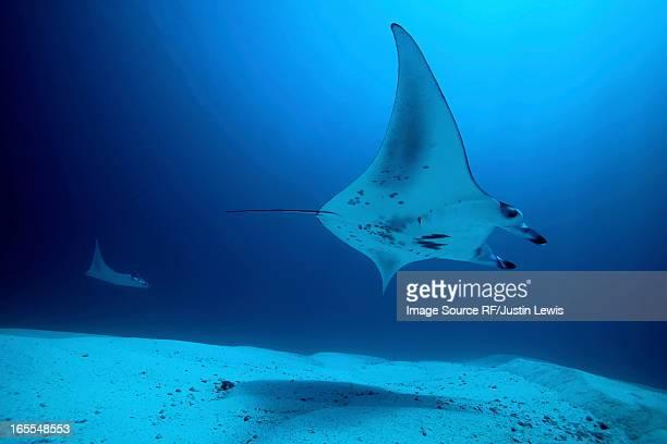 Rays swimming underwater