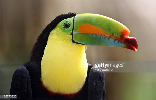 A 'razor beak' toucan is seen 24 November 2007 at the aviary of La Paz Waterfall Gardens a wildlife refuge for different animal species in the...