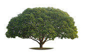 A real big tree isolated on white background. This is an element object.
