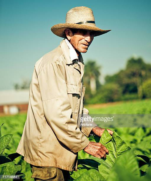 実際の農家のキューバ産タバコ栽培