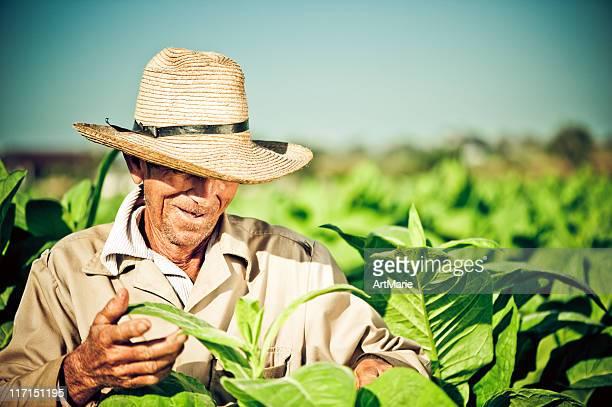 Real cubano agricoltore in una piantagione di tabacco