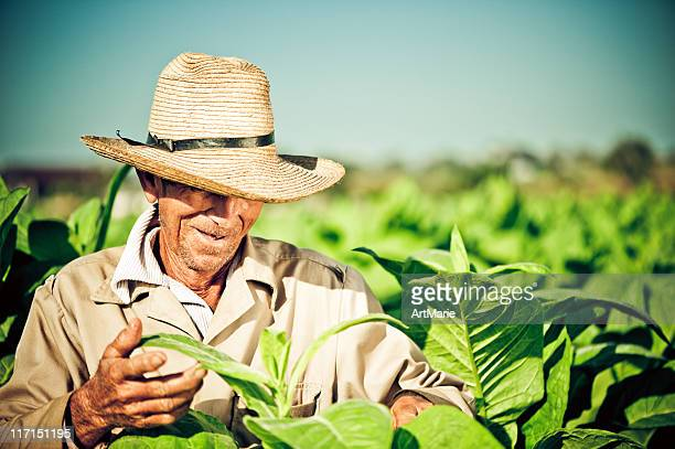 Real kubanische farmer bei Tabak