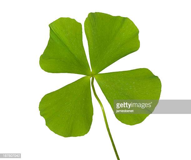 Real Four Leaf Clover Hi Key