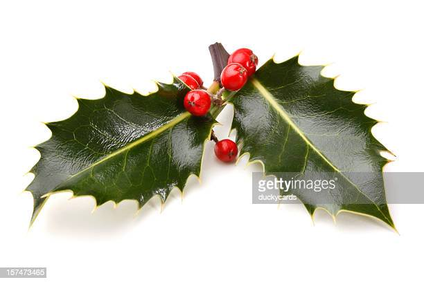 Real Holly Sprig with Berries