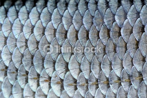 Real roach fish scales background stock photo thinkstock for Do all fish have scales