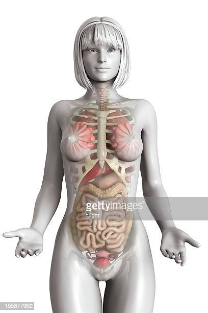 Realistic female anatomy model