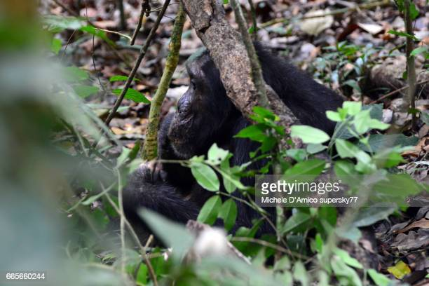 Realxed face of a male common chimpanzee on the forest floor