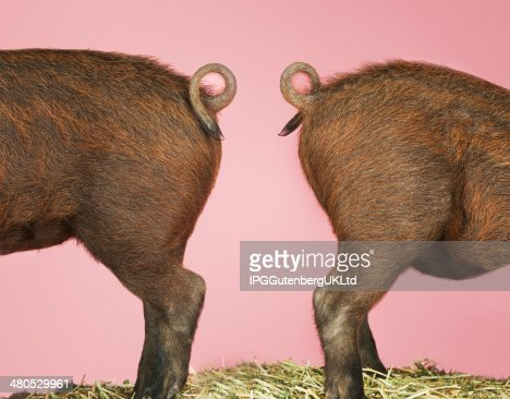 Rear End Of Pigs On Pink Background : Stock Photo