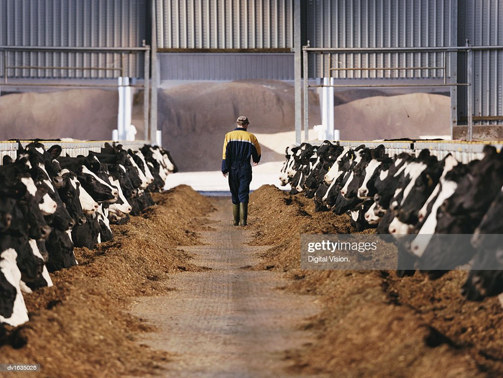 Rear View of a Farmer Walking Between Two Lines of Cows in a Barn