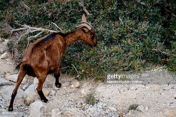 Rear View Of A Goat