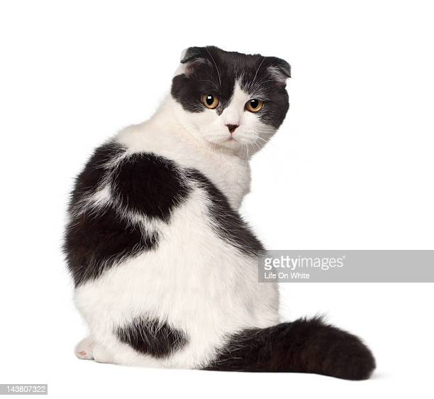 Rear view of a Scottish Fold sitting