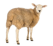 Rear view of a Sheep looking back against white background