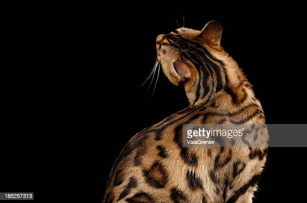 Rear view of Bengal cat craning neck.