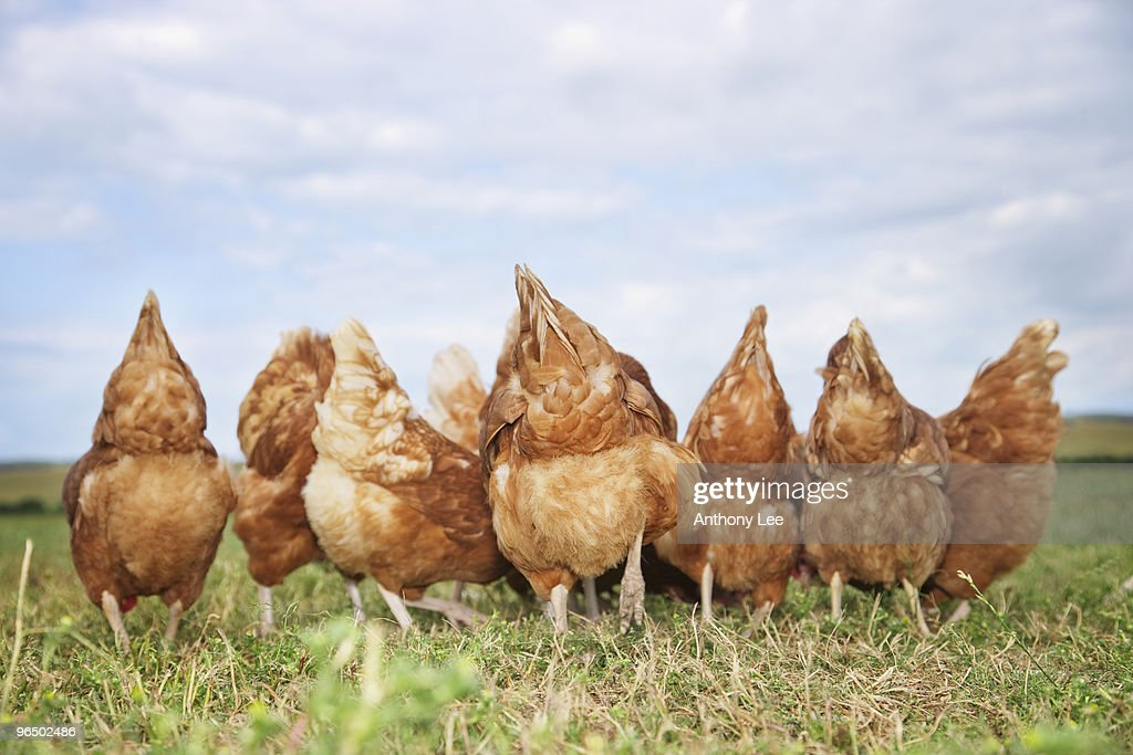 Rear view of chickens in field : Stock Photo