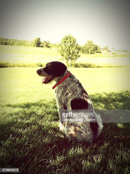 Rear View Of German Wirehaired Pointer Sitting On Grass Field Against Sky In Park