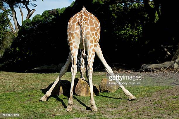 Rear View Of Giraffe On Grassy Field