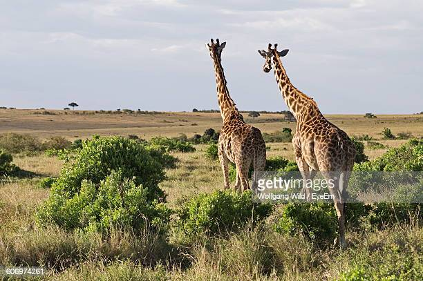 Rear View Of Giraffes Walking On Field