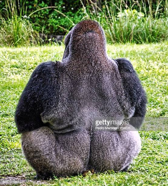 Rear View Of Gorilla Sitting On Grass