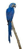 Hyacinth Macaw, 1 year old, perching on branch in front of white background.