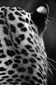 Rear view of leopard's head