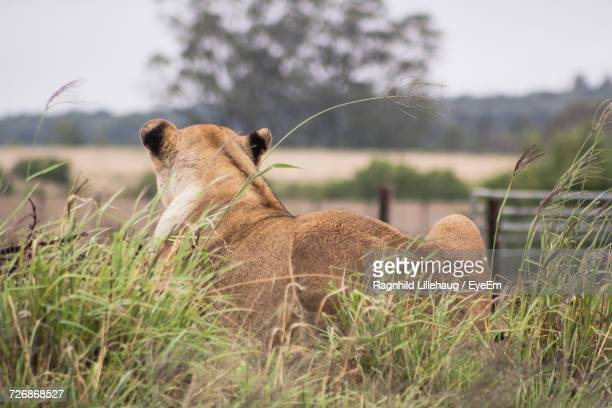 Rear View Of Lioness Sitting On Field