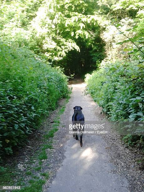 Rear View Of Rottweiler Walking On Footpath