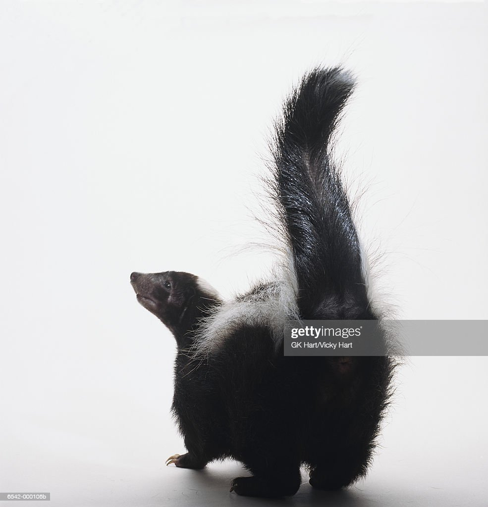 rear view of skunk stock photo getty images